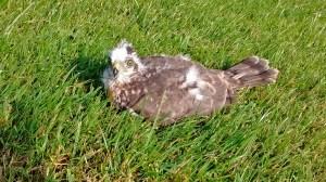 Juvenile Sparrowhawk (Joe Dobson)